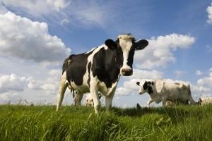 Comment fabriquer une vache ou un poulet ?