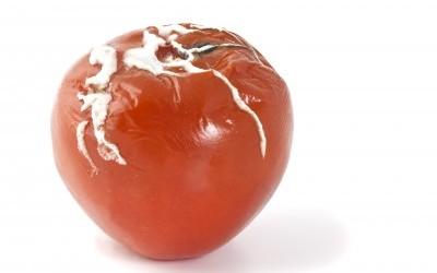 Pas de pesticides pour prévenir du mildiou des tomates.