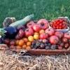 Cet été, nous vous proposerons 40 variétés de tomates bio !